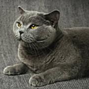 Pet Portrait Of British Shorthair Cat Print by Nancy Branston