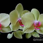 Phalaenopsis Fuller's Sunset Orchid No 1 Art Print