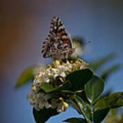 Phaon Crescent Butterfly Art Print