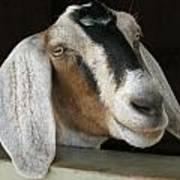 Photogenic Goat Art Print