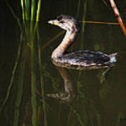 Pied-billed Grebe In The Reeds Art Print