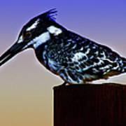 Pied Kingfisher Art Print