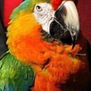 Pietro The Parrot Art Print
