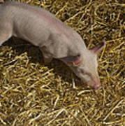 Pig. Yummy Roasted Art Print by Michael Clarke JP