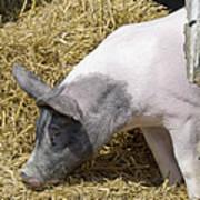 Piggy Piggy In The Straw Art Print