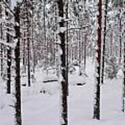 Pine Forest In January Art Print