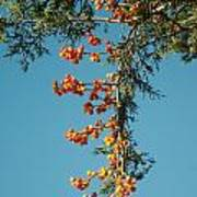 Pine Tree With Berries Art Print