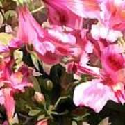 Pink Alstroemeria  Art Print