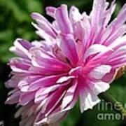Pink Anemone From The St Brigid Mix Art Print