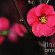 Pink Blossom In The Evening Art Print