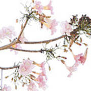 Pink Blossoms In Panama Art Print