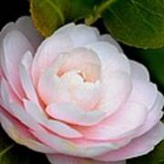 Pink Camellia Flower Art Print