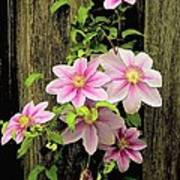 Pink Climatis Flower Art Print