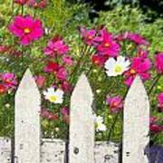 Pink Cosmos Flowers And White Picket Fence Art Print