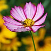 Pink Cosmos Picotee And Bee Art Print