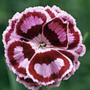 Pink (dianthus 'becky Robinson') Print by Archie Young