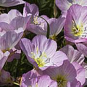Pink Evening Primrose Wildflowers Art Print