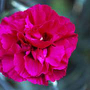 Pink Flower (dianthus 'carlotta') Art Print