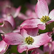 Pink Flowering Dogwood - Cornus Florida Rubra Art Print