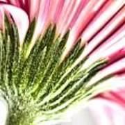 Pink Gerbera 9 Art Print