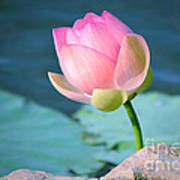 Pink Lotus 2 Print by Julie Palencia