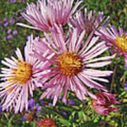 Pink New York Aster- Symphyotrichum Novi-belgii Art Print