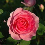 Pink Old English Rose Art Print