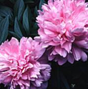 Pink Peony Pair Art Print