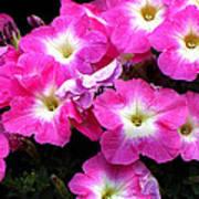 Pink Petunias Art Print