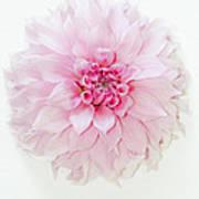 Pink Precious In White Art Print
