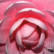 Pink Rhodendrum Art Print