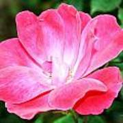 Pink Rose II Art Print