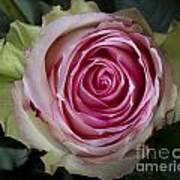 Pink Rose Spiral Art Print