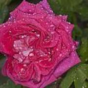 Pink Rose Wendy Cussons With Raindrops Art Print