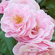 Pink Roses II Art Print