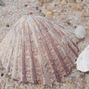 Pink Scallop Shell Art Print