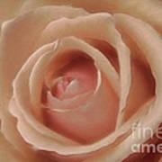 Pink Sensual Rose Art Print