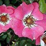 Pink Single Roses Art Print