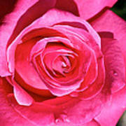 Pink Sunrise Rose Art Print