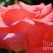 Pink Touch Of Class Petals Art Print
