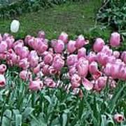 Pink Tulips 3 Art Print