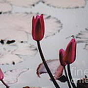 Pink Water Lily Buds Art Print