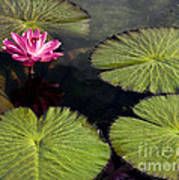 Pink Water Lily I Art Print
