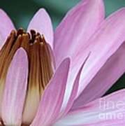 Pink Water Lily Macro Print by Sabrina L Ryan