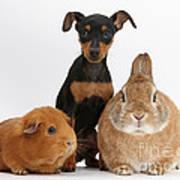 Pinscher Puppy With Rabbit And Guinea Art Print