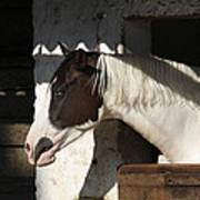 Pinto Horse Art Print