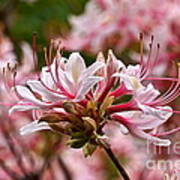 Pinxterflower Azalea Art Print