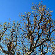 Plane Tree In Autumn Art Print