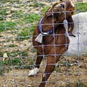 Please Exonerate Me 2 - Billy Goat Art Print