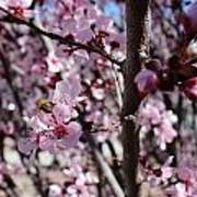 Plum Blossoms 6 Art Print